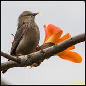 栗尾椋鳥與木棉花的相遇:IMG_22.jpg
