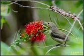內溝溪綠啄花:IMG_09.jpg