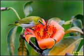 栗尾椋鳥與木棉花的相遇:IMG_27.jpg