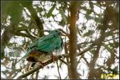 台中都會公園小綠鳩:IMG_02.jpg