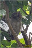 台大領角鴞:IMG_11.jpg
