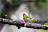 台中都會公園小綠鳩:IMG_10.jpg
