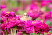 幸福水漾公園扇尾鶯:IMG_05.jpg