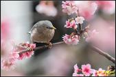 栗尾椋鳥花鳥圖:IMG_10.jpg