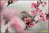 栗尾椋鳥花鳥圖:IMG_05.jpg