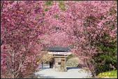 司馬庫斯櫻花季:IMG_13.jpg