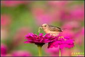 幸福水漾公園扇尾鶯:IMG_11.jpg