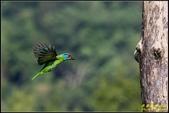 來拍五色鳥‧石門水庫:IMG_07.jpg