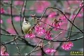 福山櫻花道‧冠羽畫眉花鳥圖:IMG_12.jpg