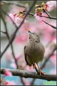 栗尾椋鳥花鳥圖:IMG_16.jpg