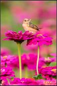 幸福水漾公園扇尾鶯:IMG_12.jpg