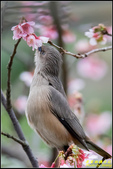栗尾椋鳥花鳥圖:IMG_14.jpg