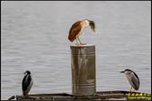 湖底埤棕夜鷺:IMG_15.jpg