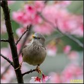 栗尾椋鳥花鳥圖:IMG_15.jpg