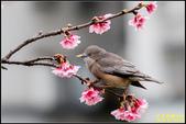 栗尾椋鳥花鳥圖:IMG_21.jpg
