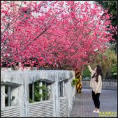 樹林地政事務所八重櫻:IMG_14.jpg