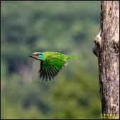 來拍五色鳥‧石門水庫:IMG_08.jpg