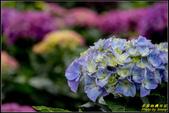 大賞園繡球花:IMG_12.jpg