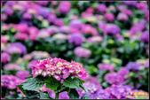 大賞園繡球花:IMG_13.jpg