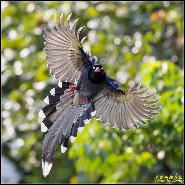 IMG_15.jpg - 三坑自然生態公園‧台灣藍鵲遨遊飛翔