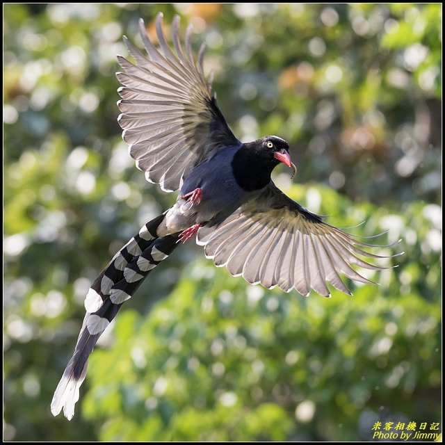 IMG_16.jpg - 三坑自然生態公園‧台灣藍鵲遨遊飛翔
