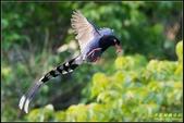 三坑自然生態公園‧台灣藍鵲遨遊飛翔:IMG_20.jpg