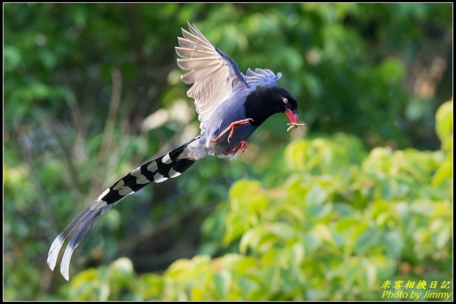 IMG_20.jpg - 三坑自然生態公園‧台灣藍鵲遨遊飛翔
