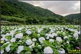 大賞園繡球花:IMG_09.jpg