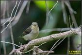 內溝溪綠啄花:IMG_02.jpg