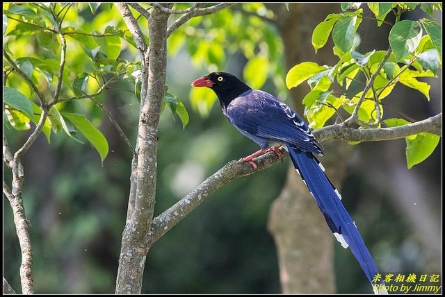 IMG_06.jpg - 三坑自然生態公園‧台灣藍鵲遨遊飛翔