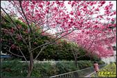 樹林地政事務所八重櫻:IMG_09.jpg