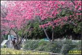 樹林地政事務所八重櫻:IMG_12.jpg