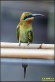 木柵動物園栗喉蜂虎:IMG_10.jpg