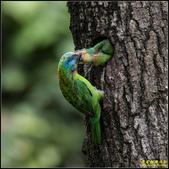 石門水庫‧五色鳥想飛:IMG_11.jpg