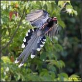 三坑自然生態公園‧台灣藍鵲遨遊飛翔:IMG_08.jpg