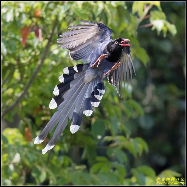 IMG_08.jpg - 三坑自然生態公園‧台灣藍鵲遨遊飛翔