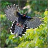 三坑自然生態公園‧台灣藍鵲遨遊飛翔:IMG_13.jpg