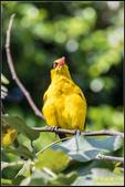 大豐公園黃鸝鳥:IMG_05.jpg