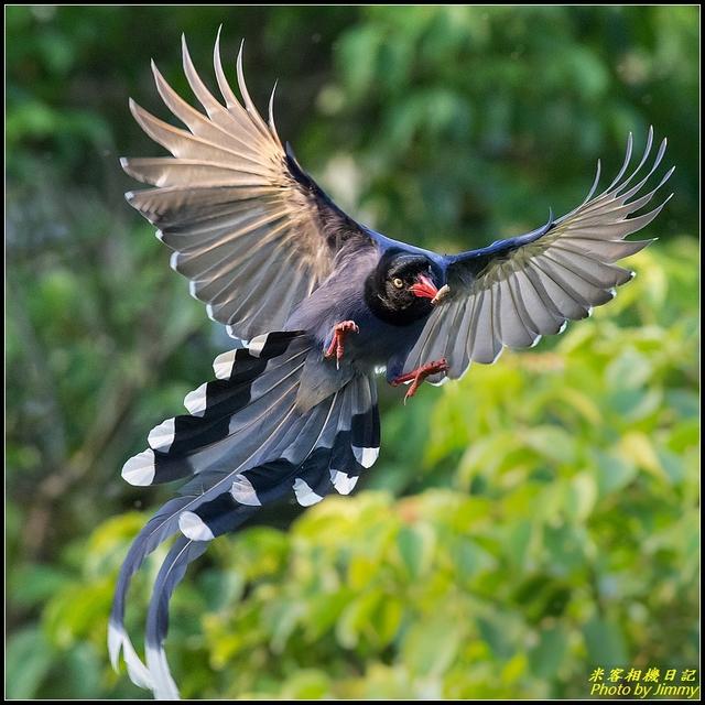 IMG_18.jpg - 三坑自然生態公園‧台灣藍鵲遨遊飛翔