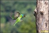 來拍五色鳥‧石門水庫:IMG_06.jpg