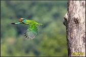 來拍五色鳥‧石門水庫:IMG_09.jpg