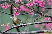 福山櫻花道‧冠羽畫眉花鳥圖:IMG_18.jpg