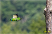 來拍五色鳥‧石門水庫:IMG_11.jpg