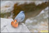 平廣路鉛色水鶇:IMG_17.jpg