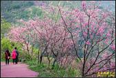 大熊櫻花林昭和櫻:IMG_16.jpg
