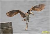 湖底埤棕夜鷺:IMG_14.jpg