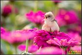 幸福水漾公園扇尾鶯:IMG_07.jpg
