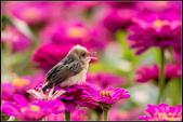 幸福水漾公園扇尾鶯:IMG_08.jpg