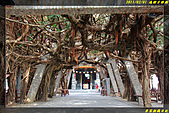 通樑古榕樹、通樑漁港:IMG_01.jpg