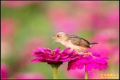 幸福水漾公園扇尾鶯:IMG_13.jpg